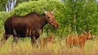 Animalia basatiak ugaritzen ari dira Txernobyl inguruan