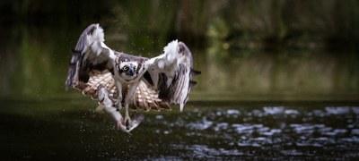 Arrano arrantzalea zuzenean behatzeko webcama ezarri dute Urdaibai Bird Centerren