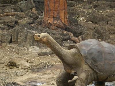 Galapagoetako azken dortoka erraldoiaren oinordekoak