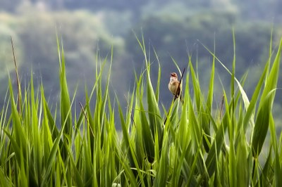 Hegaztien eraztunketa zientifikoa nola egiten den erakutsiko dute Urdaibai Bird Centerren larunbatean