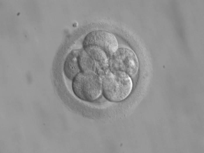 Lehenaldiz enbrioiak genetikoki eraldatzeko teknika bat probatu dute giza enbrioetan